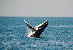 A humpback whale breaches near Camden Sound on the Kimberley coast.