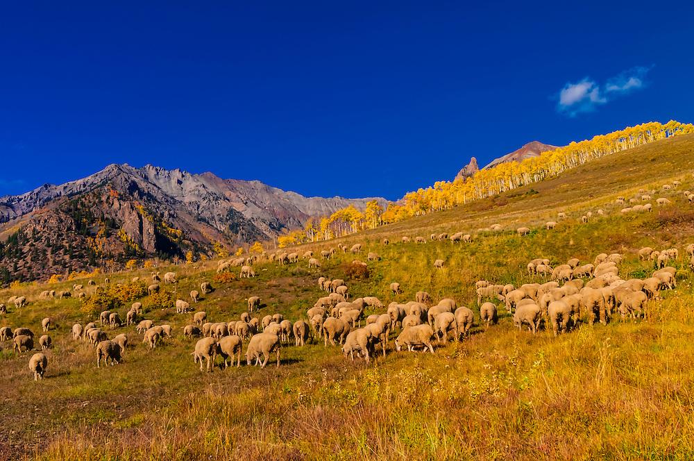 Sheep, Last Dollar Road, San Juan Mountains near Telluride, Colorado USA.