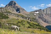 A mountain goat walks through wildflowers in Glacier National Park.