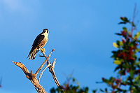 Peregrine Falcon in the Early Morning Sun. Merritt Island National Wildlife Refuge. Image taken with a Nikon D700 and 28-300 mm VR lens (ISO 200, 300 mm, f/8, 1/320 sec).