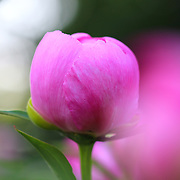 &quot;Dreaming of Peonies&quot;<br />