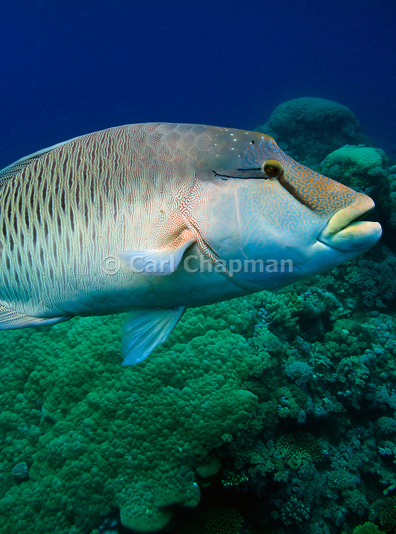 Humphead wrasse - Cheilinus undulatus also know as Napoleon wrasse, Maori wrasse, Napoleonfish, So Mei or Mameng. -  Agincourt reef, Great Barrier Reef, Queensland, Australia.