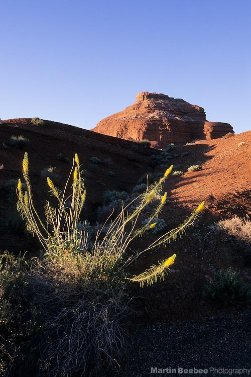 Prince's Plume (Stanleya pinnata), Glen Canyon National Recreation Area, Arizona