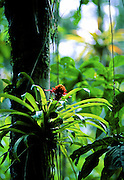 Bromeliad in tree - Amazonia, Peru.