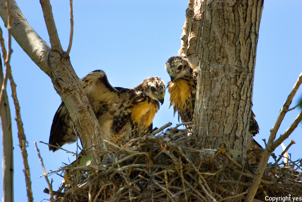 Red Tail hawk fledglings at nest