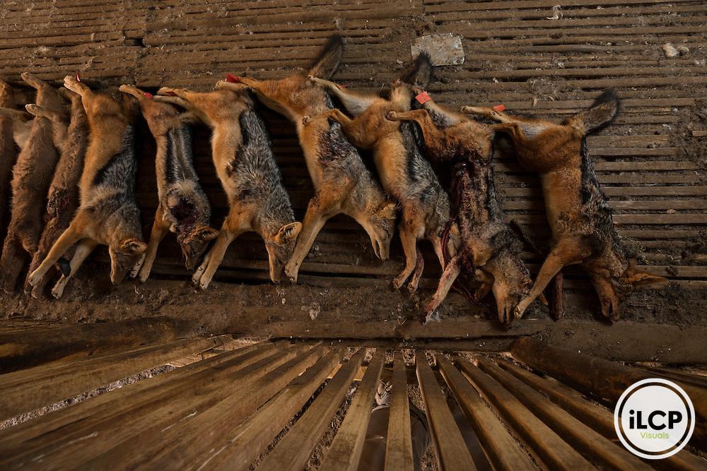 Thousands of predators are killed every year in the Karoo at these organized beaten. Although the black-backed jackal and caracal are both target species, sometimes to see other carnivores such as foxes Cape or African wildcat fall under the bullets of the guns.<br /> Rietbron, Eastern Cape, South Africa / Des milliers de pr&eacute;dateurs sont tu&eacute;s chaque ann&eacute;e dans le Karoo lors de ces battues organis&eacute;es. Bien que le chacal &agrave; chabraque et le caracal soient les deux esp&egrave;ces vis&eacute;es, il arrive parfois de voir d&rsquo;autres carnivores comme le renard du Cap ou le chat sauvage africain tomber sous les balles des fusils.<br /> Rietbron, Eastern Cape, South Africa