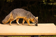 Island Fox (Urocyon littoralis) on a picnic table,  Santa Cruz Island, Channel Islands National Park, California USA