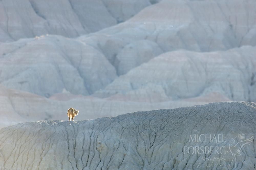 Coyote, Buffalo Gap National Grassland, SD