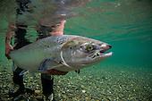 Atlantic Salmon Stock Photos