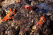 A group of red rock crab, or Sally Lightfoot (Grapsus grapsus) on in the tidal zone of Bachas Beach, Santa Cruz Island, Galapagos Archipelago, Ecuador. Note that the juvenile crabs are darker and blend into the rocks. There are 12 crabs in this image. Can you find them all?