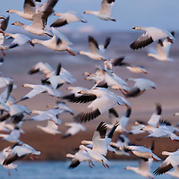 , russel country, montana, usa, snowgeese, freezeout lake wildlife area, geese, montana, usa,, russell