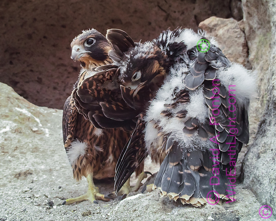 Nestling female peregrine falcons, 33days old, one preening wing feathers as sister stands alertly.  © 2013 David A. Ponton, [photo by motion-activated camera, low-resolution limits repro. size]