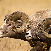 Two massive rams march in unison, doing their best to intimidate each other during the fall rut in Western Montana.