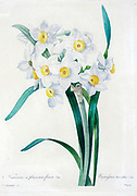 19th-century hand painted Engraving illustration of a Narcissus tazetta (paperwhite, bunch-flowered narcissus, bunch-flowered daffodil, Chinese sacred lily, cream narcissus, joss flower, polyanthus narcissus) is a perennial ornamental plant that grows from a bulb. By Pierre-Joseph Redoute. Published in Choix Des Plus Belles Fleurs, Paris (1827). by Redouté, Pierre Joseph, 1759-1840.; Chapuis, Jean Baptiste.; Ernest Panckoucke.; Langois, Dr.; Bessin, R.; Victor, fl. ca. 1820-1850.