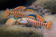 Darters Collection
