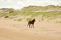 NC01420-00...NORTH CAROLINA - One of the semi-wild Banker horses walking the sandy beach near an issolated beach side community on the Outer Banks, north of Corrola.