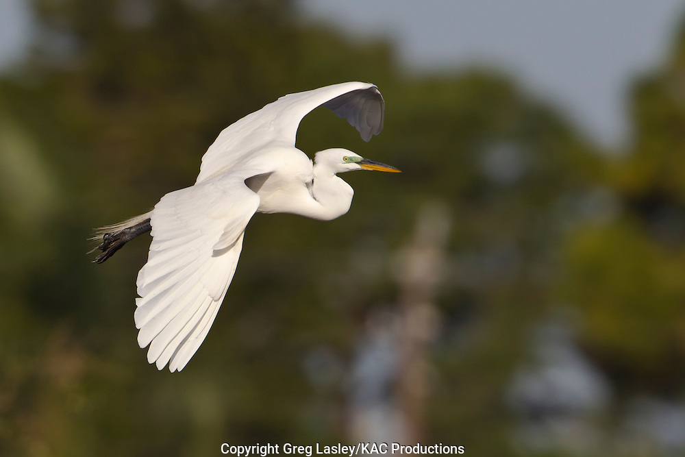 Great Egret<br /> Ardea alba<br /> Venice,<br /> Sarasota Co., Florida<br /> 19 January 2013