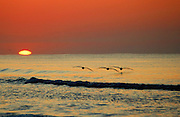 Cruising pelicans over the surf at sunrise, Myrtle Beach, South Carolina.