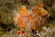 Ocellated Frogfish, Antennarius ocellatus,  hides among sponges in the Lake Worth Lagoon, Singer Island, Florida.