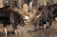 With the rut nearly over, two bull moose spar to determine their position in the dominance hierarchy.  Though much less aggressive than a fight for cows, bulls continue to spar throughout the year to maintain their ranking with other males.