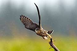 Merlin (Falco columbarius) flying off a branch, Lake Clark National Park, Alaska, United States of America