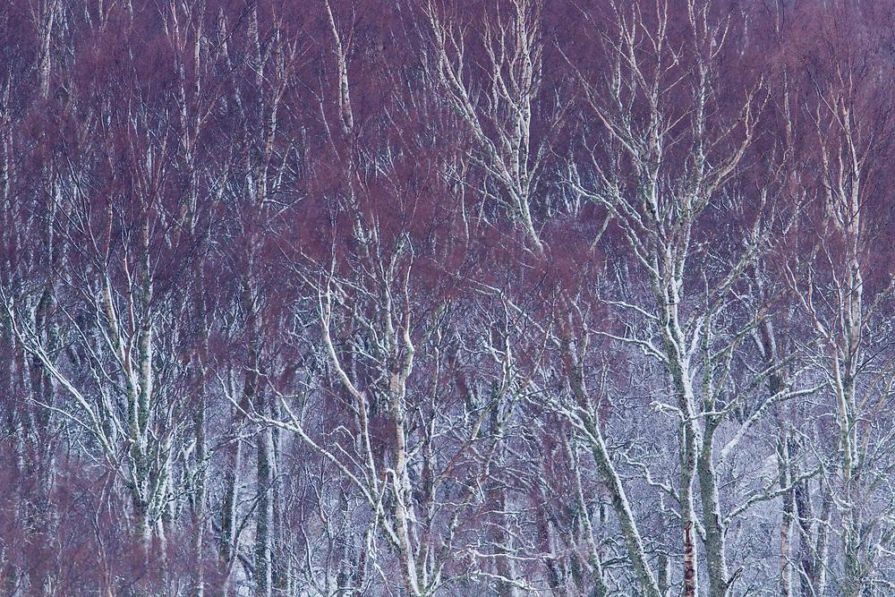 Silver Birch woodland (Betula pendula) in late winter showing purple coloured branches, Scotland