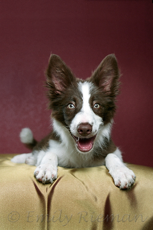 red and white border collie puppy