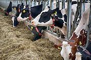 Nederland, Groesbeek, 10-9-2016Koeien, melkkoeien, in de stal bij een modern melkveebedrijf . De dieren hebben veel ruimte, kunnen vrij rondlopen en hebben een volledig automatische melkrobot in de stal waar ze naar believen langs kunnen om gemolken te worden . Foto: Flip Franssen
