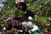 Benin november 22, 2001 - Cotton picker in cotton fileds at the center on Benin.