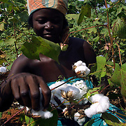 Benin november 22, 2001 - Cotton picker in cotton fileds at the center on Benin.