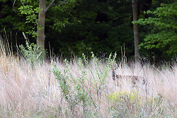 1 May 2010:  A white tail deer navigates tall grass near a timber area East of Bloomington, near Moraine View State Park.