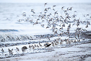 As the sun was setting, these Sandpipers were still foraging and moving constantly as they do.  I love the how the low light and shutter speed caught the movement of takeoff.  Pickering Beach, Delaware