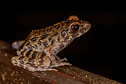 Rough-sided frog (Hylarana glandulosa) from Kinabatangan, Sabah, Borneo