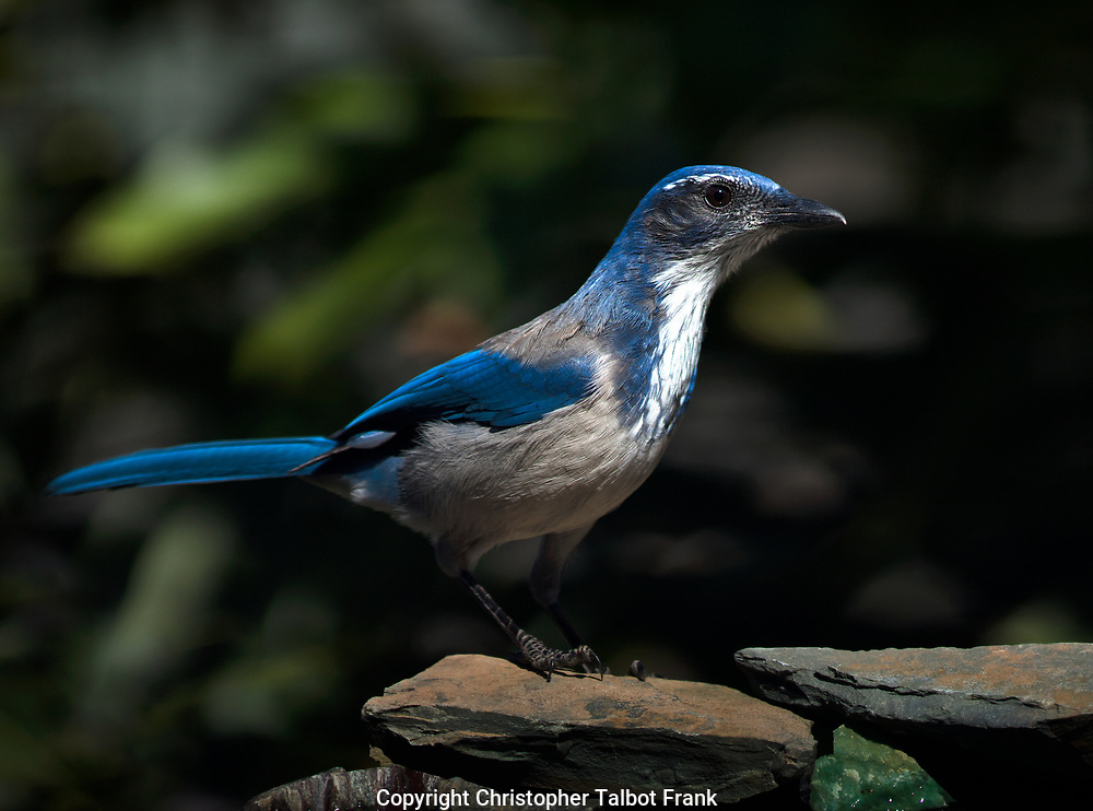 To get this sharp photo of a curious California Scrub Jay, I set up a photo blind.  I chose to set up my blind where the colorful blu bird would get great light against a dark green forest backdrop.
