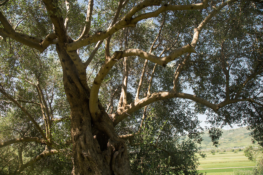 An ancient olive tree, broadly estimated to be around 500 years old, stands on a hillside above the Vjosa River. It is thought the tree and the younger grove below it, will be flooded by the reservoir if the dam is built.