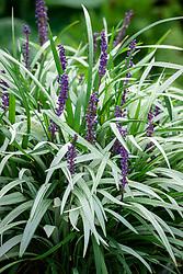Liriope muscari 'Okina'. Big blue lilyturf