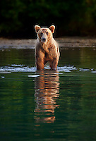 A hungry brown bear waits for a fish, Lake Clark National Park and Preserve, USA.