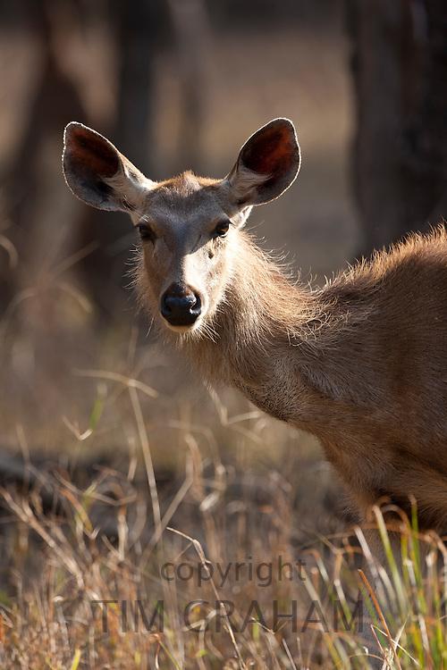 Indian Sambar, Rusa unicolor, female deer in Ranthambhore National Park, Rajasthan, India