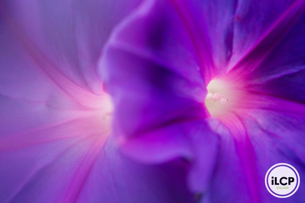 Common Morning Glory (Ipomoea purpurea) flowers, Berkeley, Bay Area, California