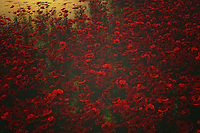 When you think about poppies, what are some of the thoughts and scenes that come into your mind? Some people think of the iconic landscape outside the Land of Oz. Others remember the Wicked Witch cackling, while intoning that the poppies would make her sleep. Others consider that unforgettable poem about Flanders Field. This sleepy visual is a vibrant space of red, coming together with the elements of nature. Available as wall-art, or as t-shirts, or in the form of interior products, Poppies in the Rain is something that can capture the mind and heart in a very profound fashion. .<br />