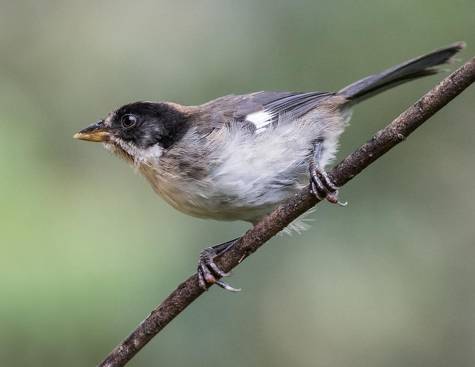 Atlapetes leucopterus, Ecuador