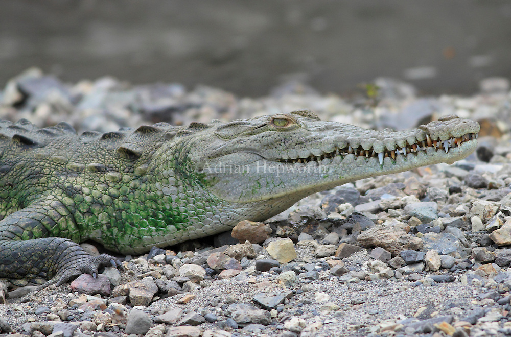 American Crocodile (Crocodylus acutus) sunbathing.  River Tempisque, Guanacaste, Costa Rica. <br />