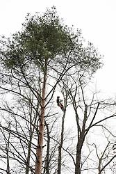 Tree surgeon. Arborist cutting trees.