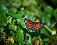 Viceroy Butterfly on a leaf. Loop road in Big Cypress National Preserve. Winter Nature in Florida Image taken with a Nikon D4 camera and 80-400 mm VRII telephoto zoom lens