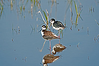 A Black Necked Stilt rests in the shallows on a wetland pond.