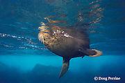 Galapagos fur seal, Arctocephalus galapagoensis, Darwin Island, northern Galapagos ( Eastern Pacific Ocean )