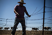 Oscar Almanza mends a fence on the B&amp;B Ranch in Byron, California, June 24, 2015. Currently, the B&amp;B Ranch has no water and unless a solution is found, they'll have to start selling off their cattle.<br /> CREDIT: Max Whittaker/Prime for The Wall Street Journal<br /> CARIGHTS
