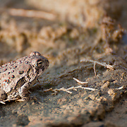 A red-spotted toad (Bufo punctatus) at Walden Ponds, Boulder, Colorado.  Photo by William Byrne Drumm.