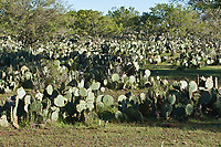 The landscape of the Texas Hill Country is often covered by large patches of Texas Prickly Pear cactus.  Texas.