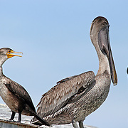 Double Crested Cormorant talking to Brown Pelican (talking trash). Sanibel Island, FL